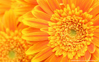 orange-flower-backgrounds-1