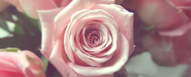 pale-pink-rose-04